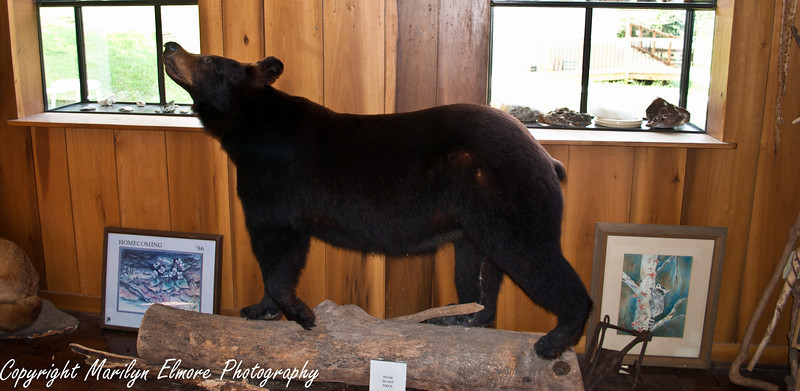 A BEAUTIFUL BLACK BEAR