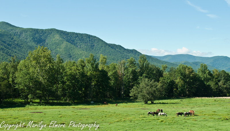 Horses grazing: Cades Cove, Great Smoky Mountains State Park TN.
